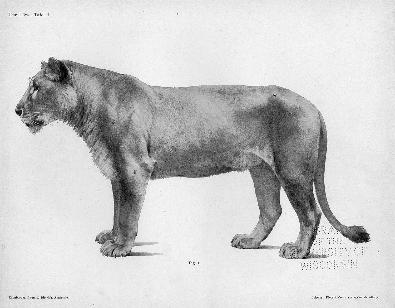 Pin By Renaud Galand On Animal Anatomy Felines Pinterest
