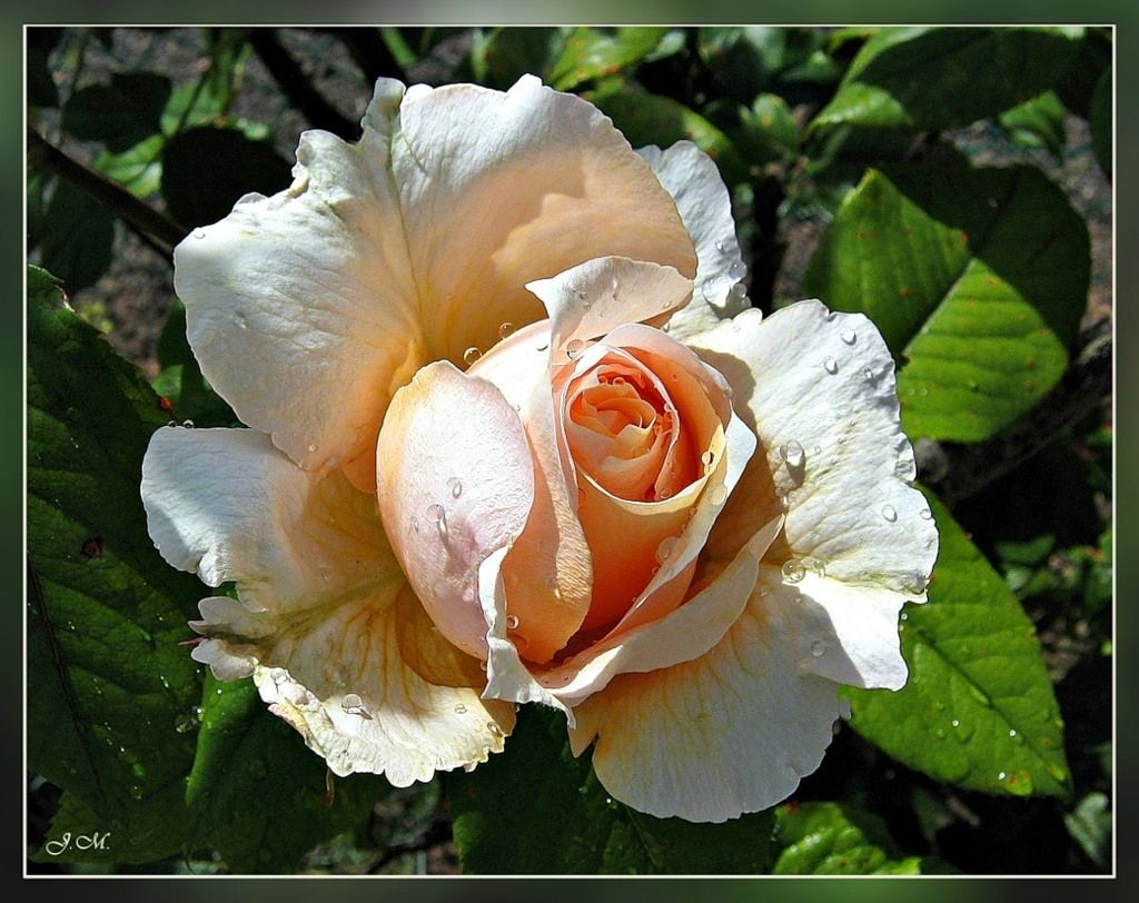 Королева цветов - роза. | Floraflora.ru