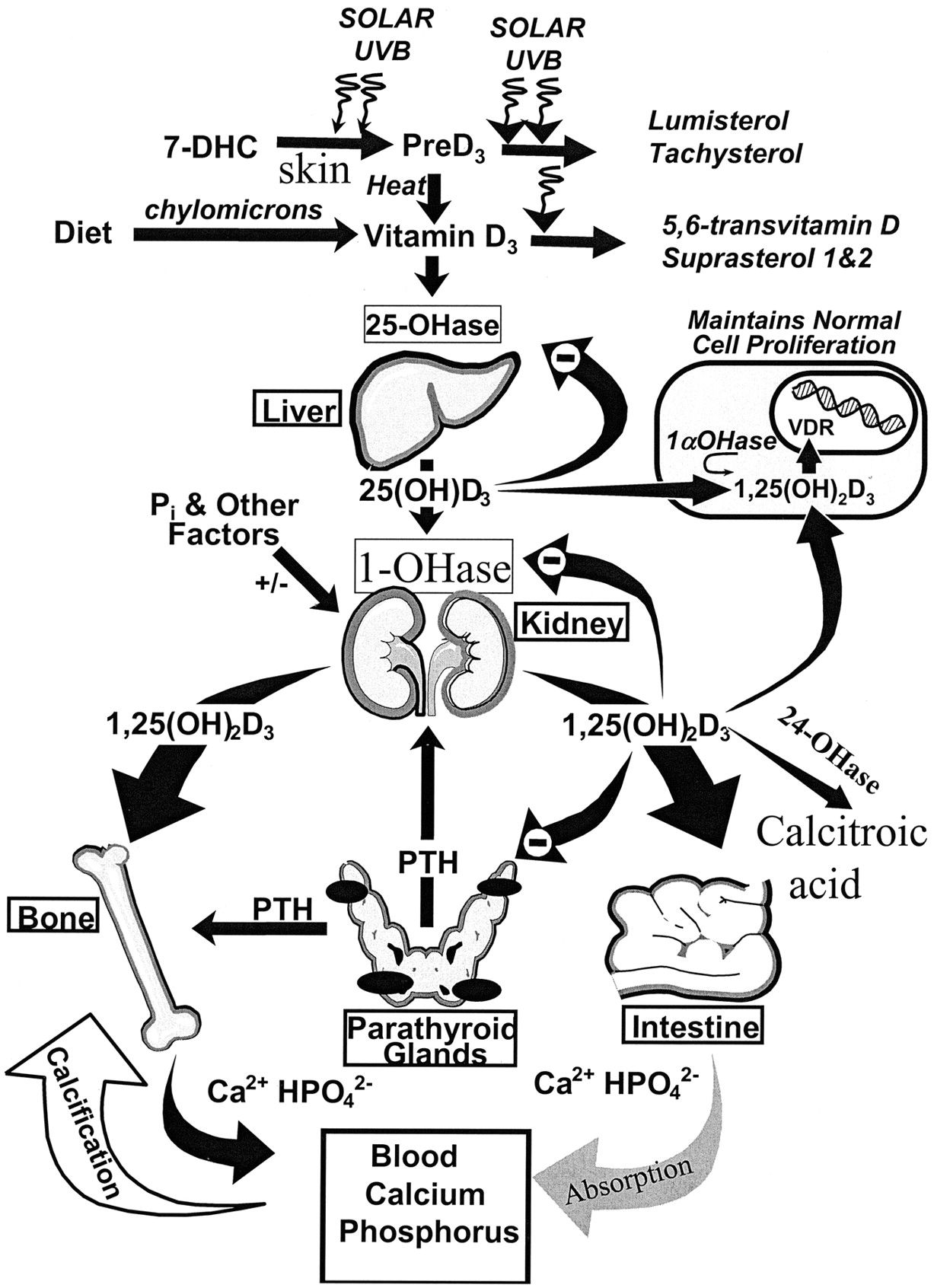 Schematic Diagram Of Cutaneous Production Of Vitamin D And