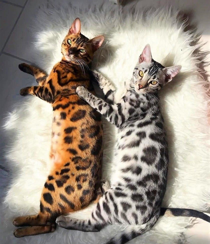 Bengal Cats Colors In 2020 Cutest Animals On Earth Gorgeous Cats Cute Cats And Kittens