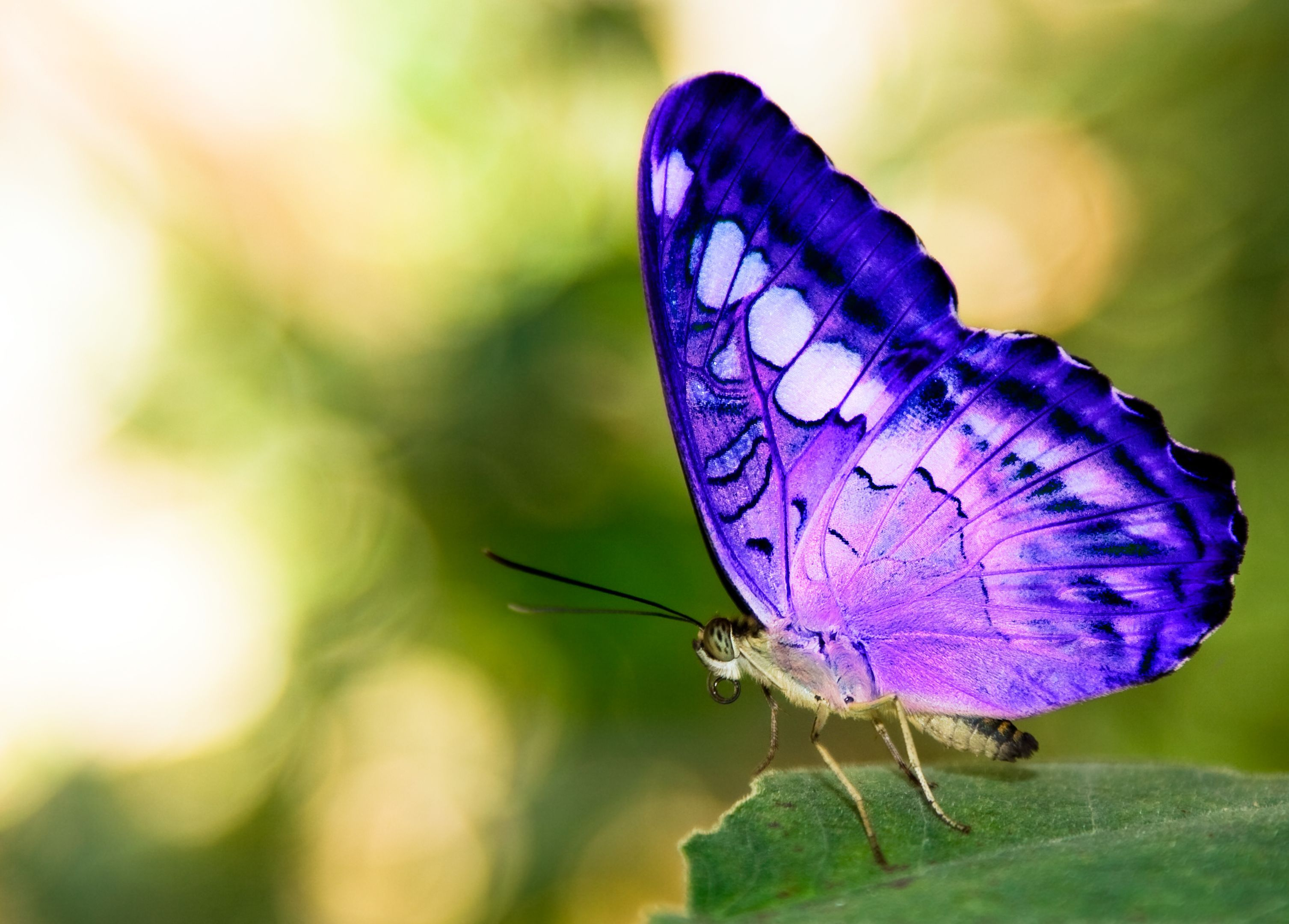 Madagascar Butterfly - Bing Images