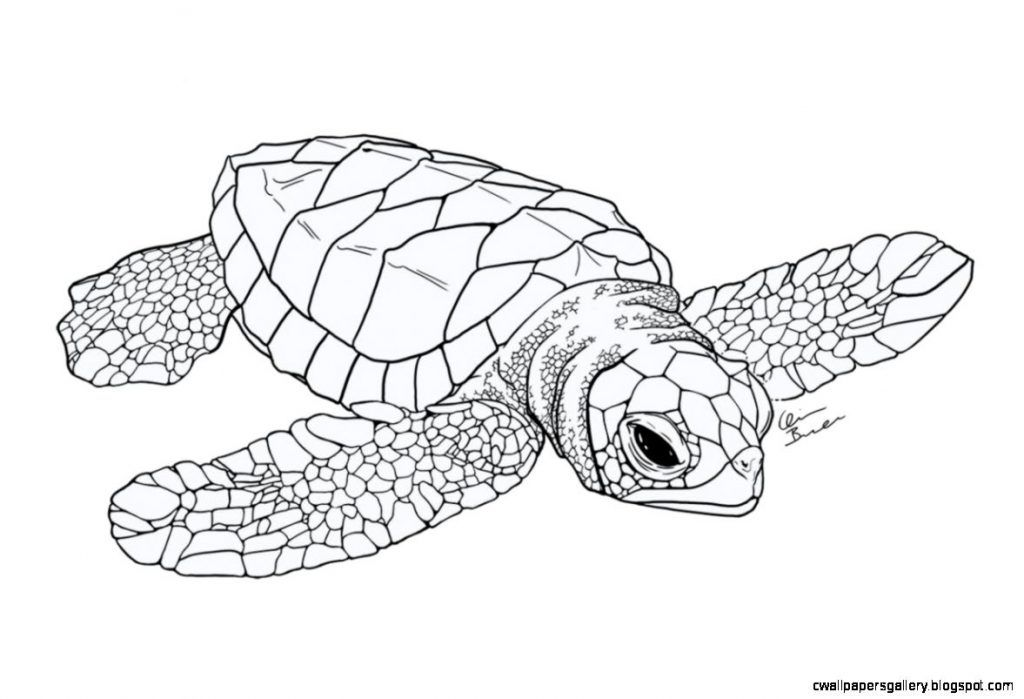 Sea Turtle Coloring Pages Turtle Sketch Sea Turtle Art Turtle