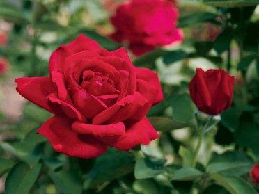 Chrysler Imperial Hybrid Tea Roses Planting Roses Rose