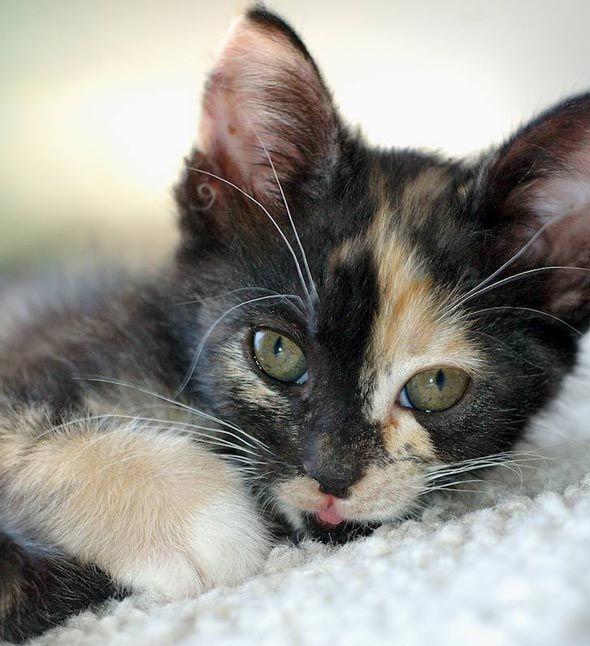pretty little calico baby   Calico kitten, Cute cats ...