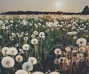 When You See A Field Of Dandelions Can Thousands Wishes Or Thousand Weeds