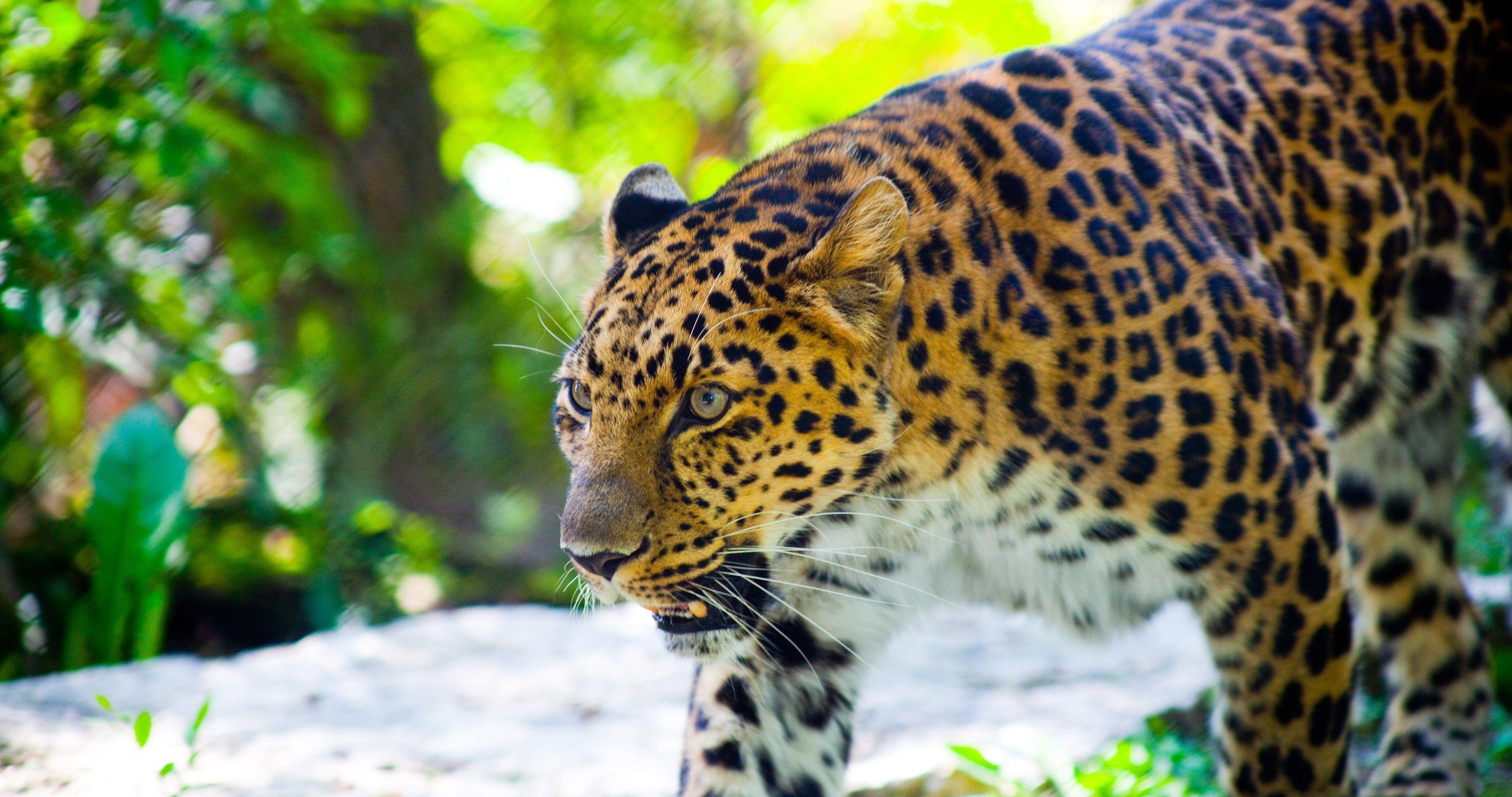 dangerous leopard 4k ultra hd wallpaper Free desktop