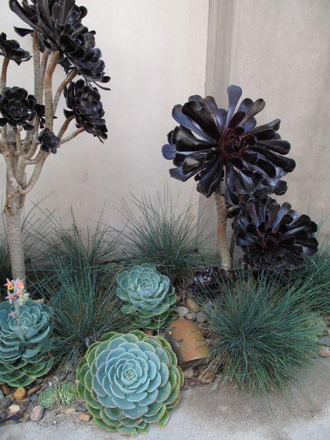 plants. FOUNDATION DESIGN - LOS ANGELES MODERN LANDSCAPE DESIGN: dark fridays - aeonium arboreum 'zwartkop'