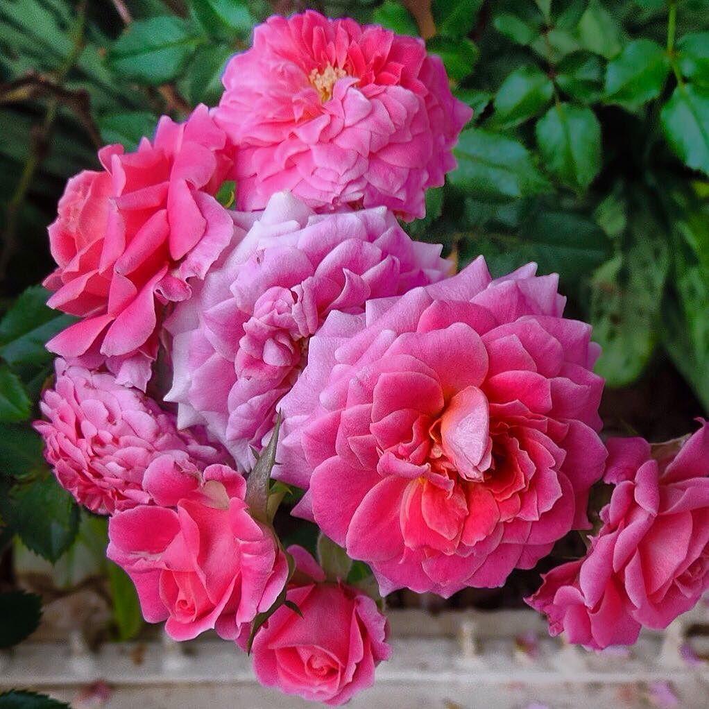 Com as rosas as rosas as rosas de Abril...  by bevitori