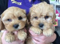 Maltese X Foxy Pups Maltese Puppies For Sale Morayfield