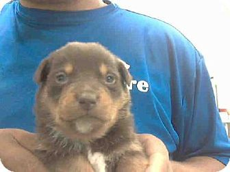 Conroe Tx Labrador Retriever Meet A246244 A Puppy For