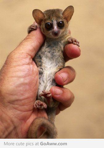 Senegal Bushbaby Lemur Cute Animals Animals