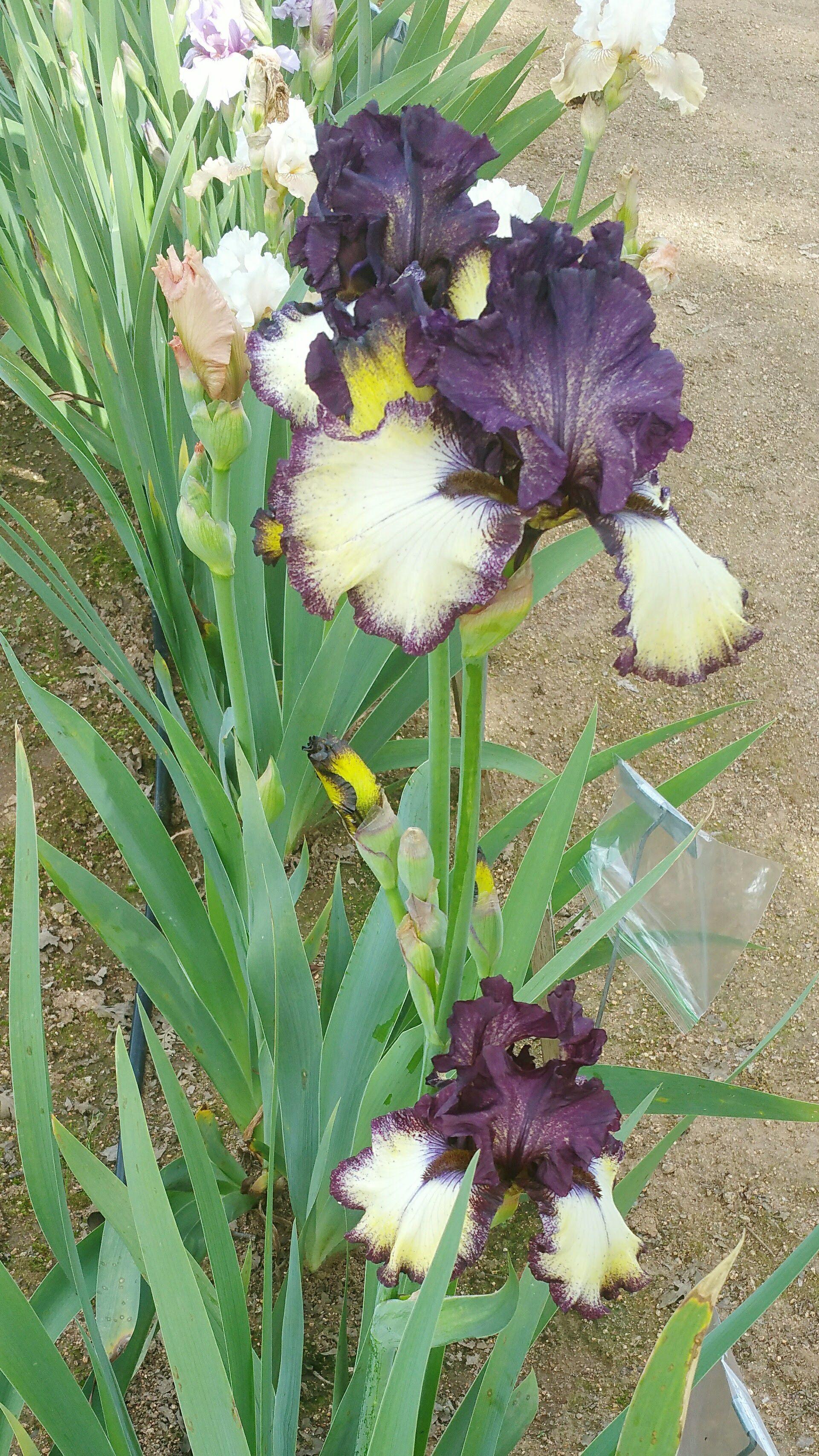 Free artist reference photos of iris blooms public art