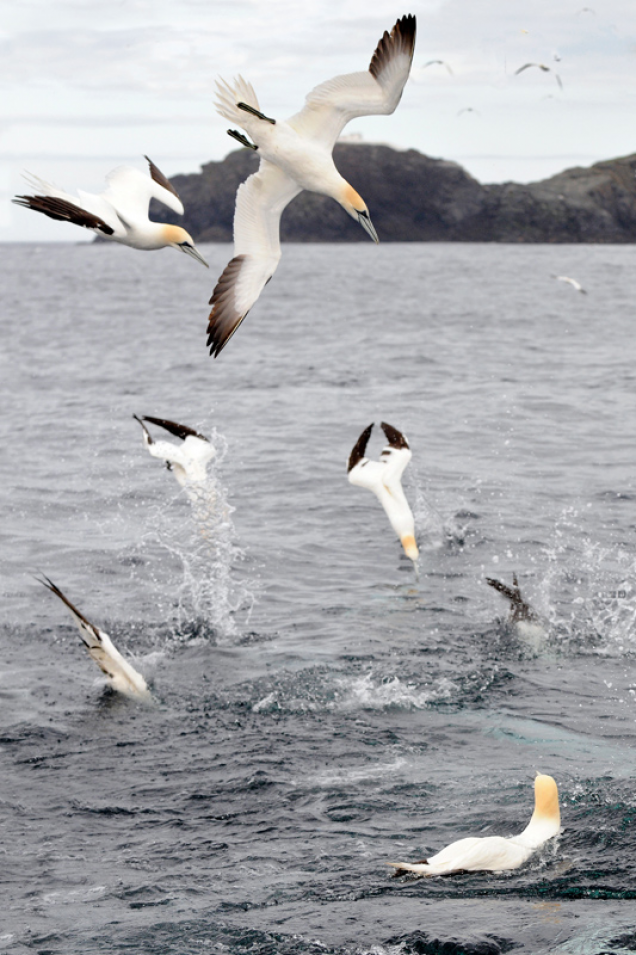 Gannets in Shetland Photo-Assignment
