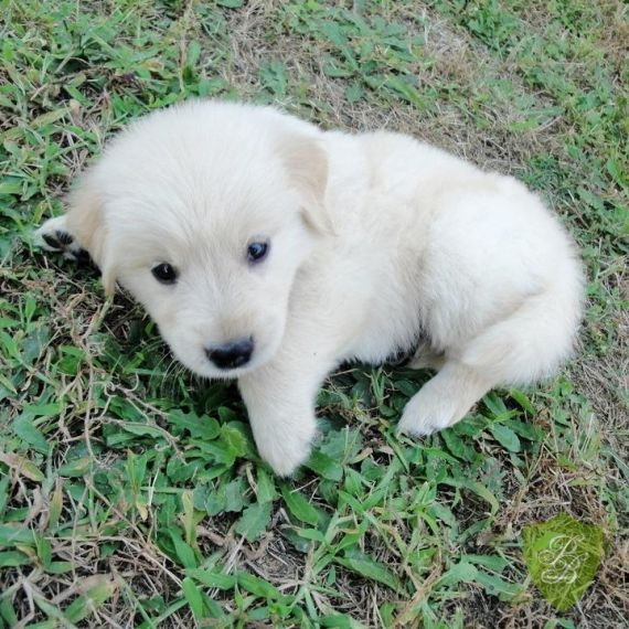 Puppies For Sale Louisiana Golden Breeders Dog Retriever