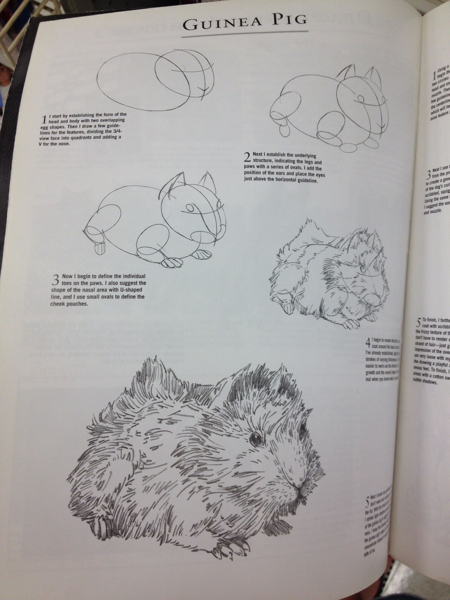 step by step how to draw a guinea pig | piggies | Pinterest ...