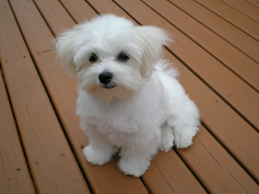 Some Of The Best Toy Dog Breeds To Get In Your Home Toy Dog