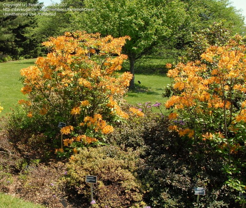 Wonderful Full Size Picture Of Azalea U0027Golden Lightsu0027 (Rhododendron) Pictures Gallery