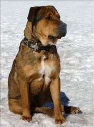 Aceson Is An Adoptable Rottweiler Dog In Duluth Mn Available At Animal Allies Superior Aceson Is A Handsome Mastiff Rot Rottweiler Mix Rottweiler Dog Animals