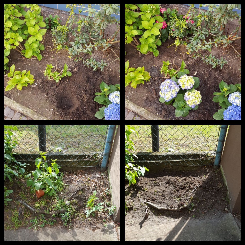 Die Gartenpflege bedeutet nicht nur Schnitt und Unkrautbekämpfung, es geht viel mehr darum auf die Wünsche des Kunden einzugehen und kleine Freuden zu bereiten - Anpflanzen / Umpflanzen / Umgestalten und vieles mehr:-)  #garten #gartenwunsch #gartenpflege #kundenwunsch #schnitt #unkraut #gruenschnitt #kleinefreude #gaertner #koeln #anpflanzen #einpflanzen #umpflanzen #umgestalten #gartengestaltung