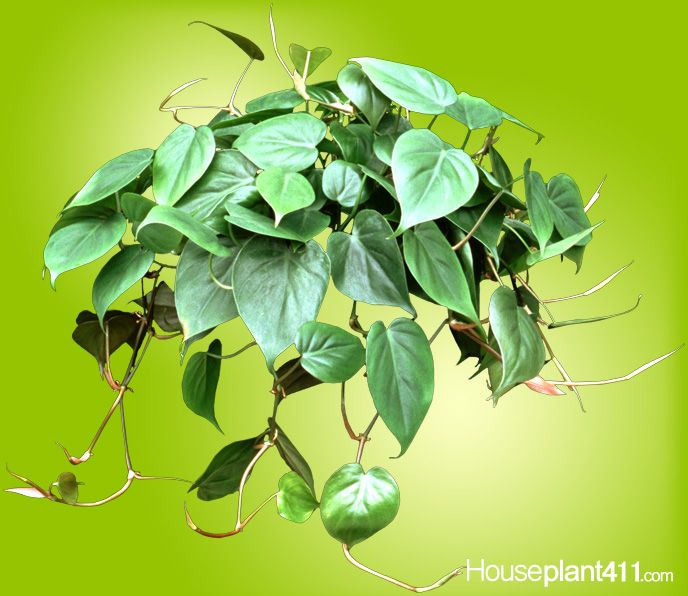 Hanging houseplants heartleaf philodendrons are for Plants that need little maintenance