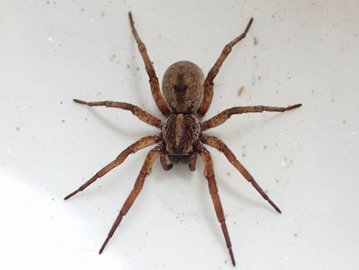 Brown Recluse Spider Poisonous Wolf Spider Spider Bites Pictures Spider Bites