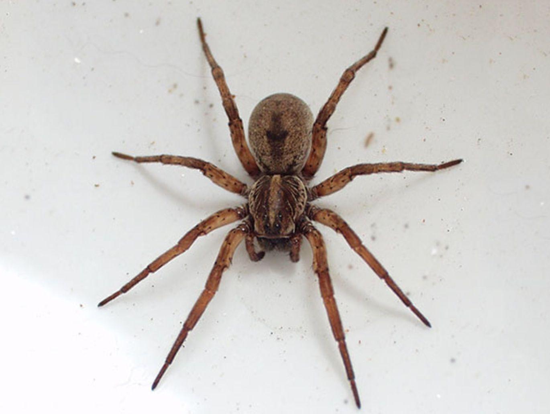 Brown recluse spider poisonous wolf spider spider