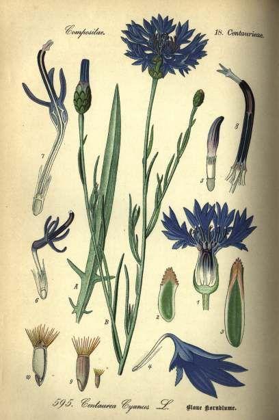 Flower Annual Bachelor S Button Blue Boy Heirloom Seeds 2014 Botanical Drawings Botanical Illustration Vintage Botanical Illustration