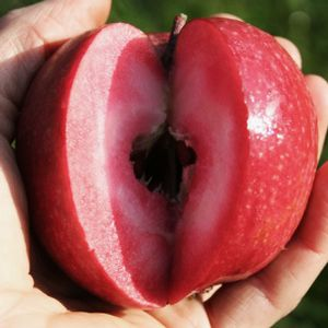 Odysso® Redlove Apple Tree is prized for its large, beautiful, aromatic and very sweet fruit. This easy to grow Redlove variety is very disease resistant.