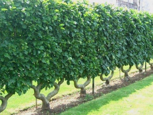 haie fruiti re en palmette en u double espalier apple 1 jardinage pinterest potager. Black Bedroom Furniture Sets. Home Design Ideas