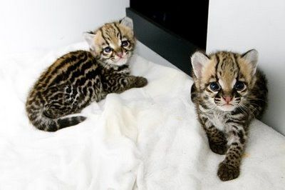 Ocelot+kittens Ocelots Cute Wild Cats ocelotkittens