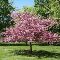 Purpleleaf Sand Cherry Tree Dwarf Cherry Tree Ornamental Trees