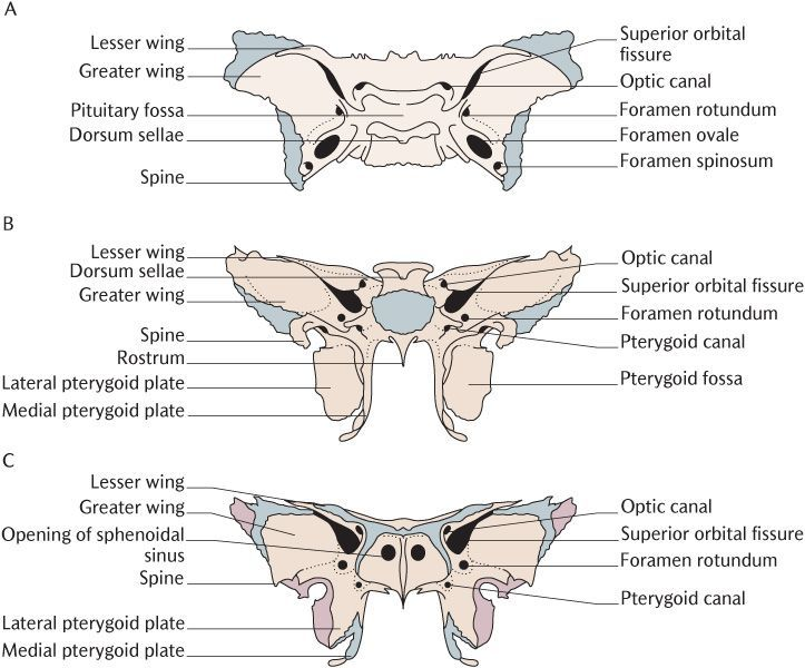 pin by cathy lewis on massage thoughts | pinterest | the skulls, Sphenoid