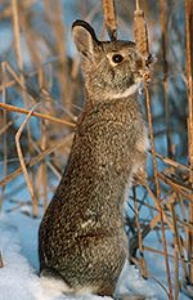 Cottontail gnawing on a plant in winter. #mammals #mammals #game