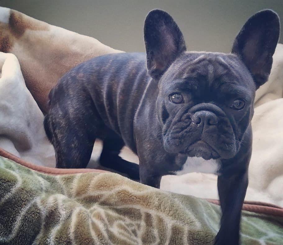 Cika Bulldog Frenchbulldog Cutest Bulldog Cutest Dog Ever French Bulldog