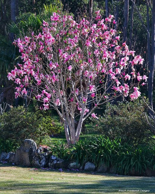 Magnolia liliiflora 'NIGRA' - Havlis.cz