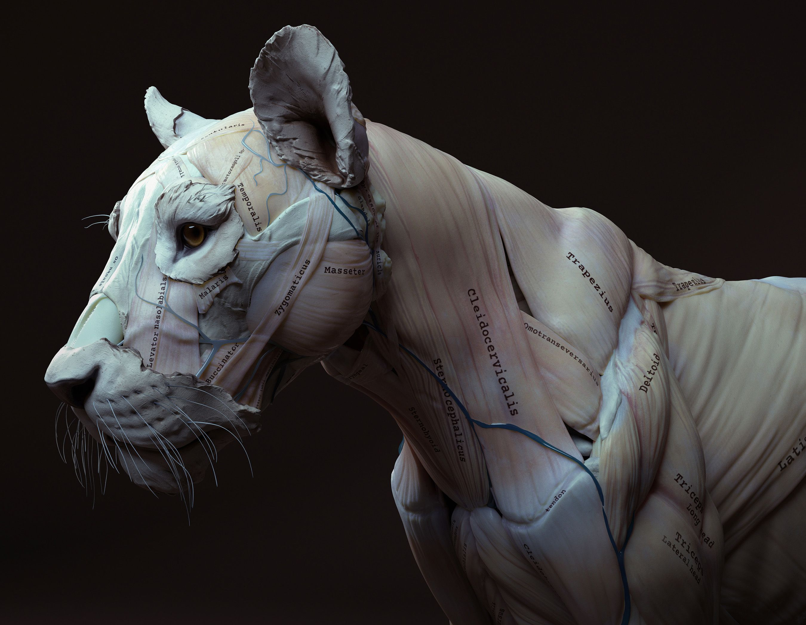 Lion Anatomy In