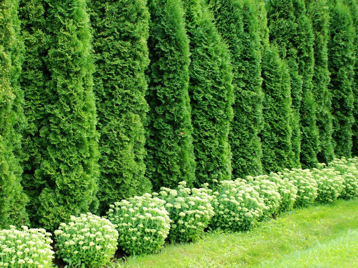 Haie de cedres recherche google jardin a m pinterest for Recherche jardinier pour entretien jardin