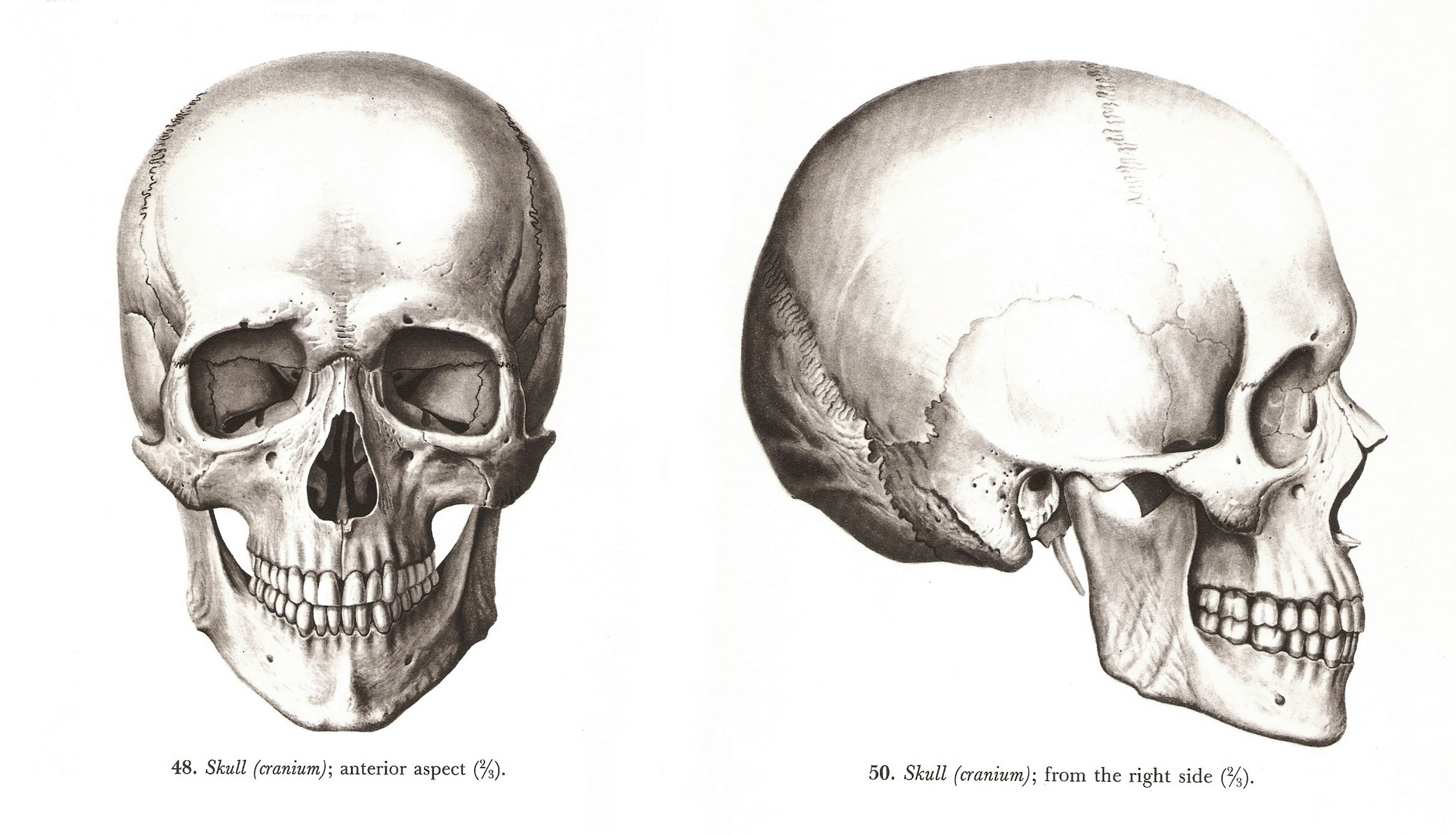 human skull (cranium), anterior and right side view, \
