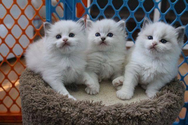 Ragdoll Kittens Www Rockcreekranchragdolls Com Cute Cats And Kittens Baby Cats Pretty Cats