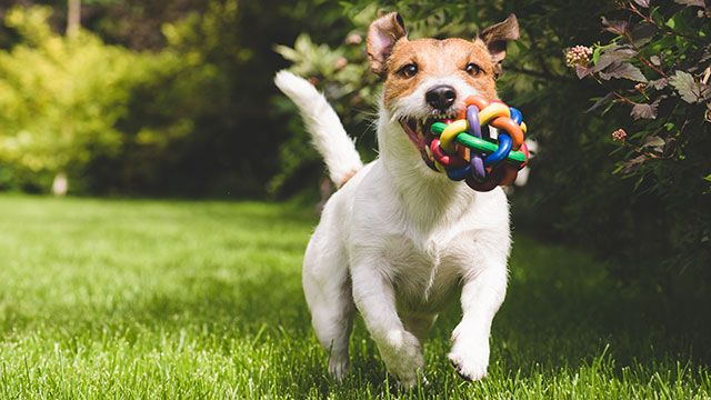Put Your Pooch To Work How To Find Fido A Job As A Dog Toy Tester
