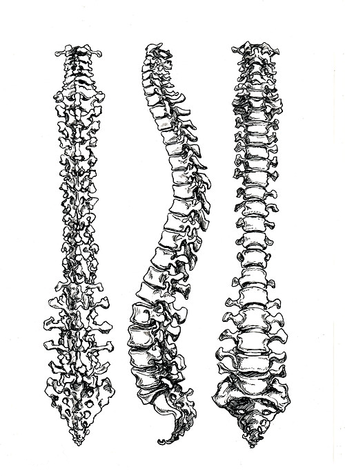 Traumacandy Spine Drawing Anatomy Art Spinal Cord