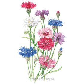 Tall Blend Bachelor S Button Seeds Bachelor Buttons Bachelor Button Flowers Summer Blooming Flowers