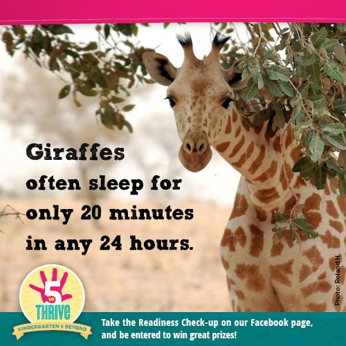 giraffes often sleep for only 20 minutes in any 24 hours. (With images) | Animals. Giraffe. Extinction