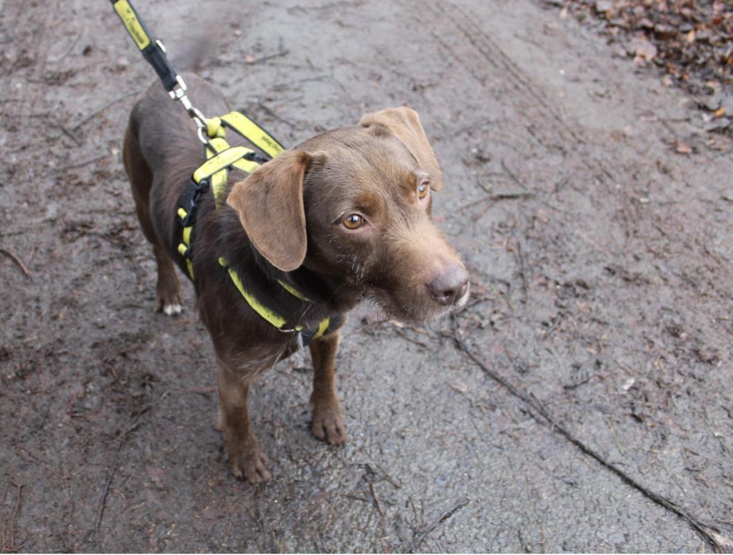 Adopt A Dog Coco Lab Cross Dogs Trust Dog School Dogs Dog