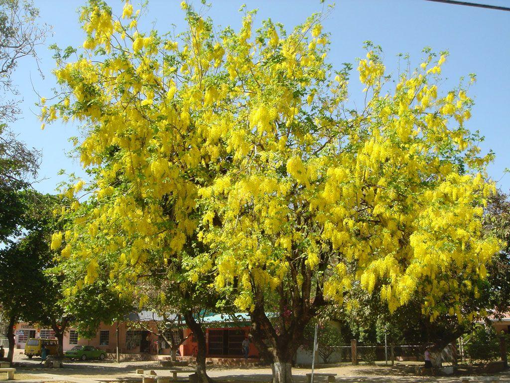 cassia fistula common name � golden shower tree
