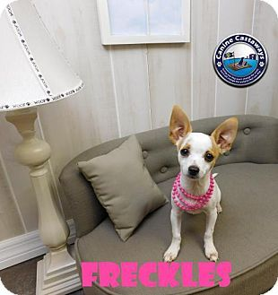 Arcadia Fl Chihuahua Mix Meet Freckles A Puppy For Adoption