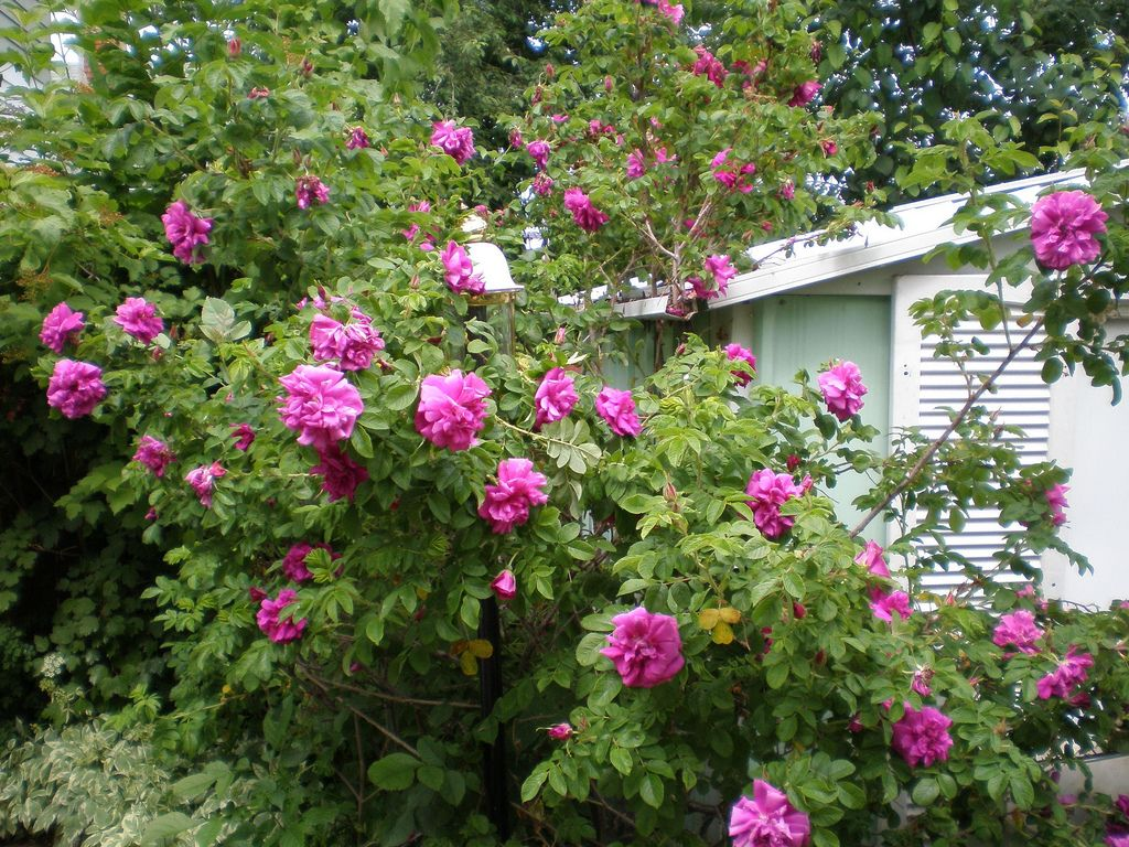 How to take care of roses - Rose Bush Plants How To Care For Them