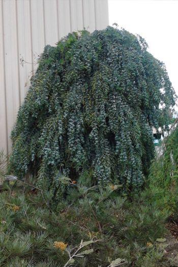 Acacia Goldilocks Prostrate Form Of Acacia Baileyana Cootamundra
