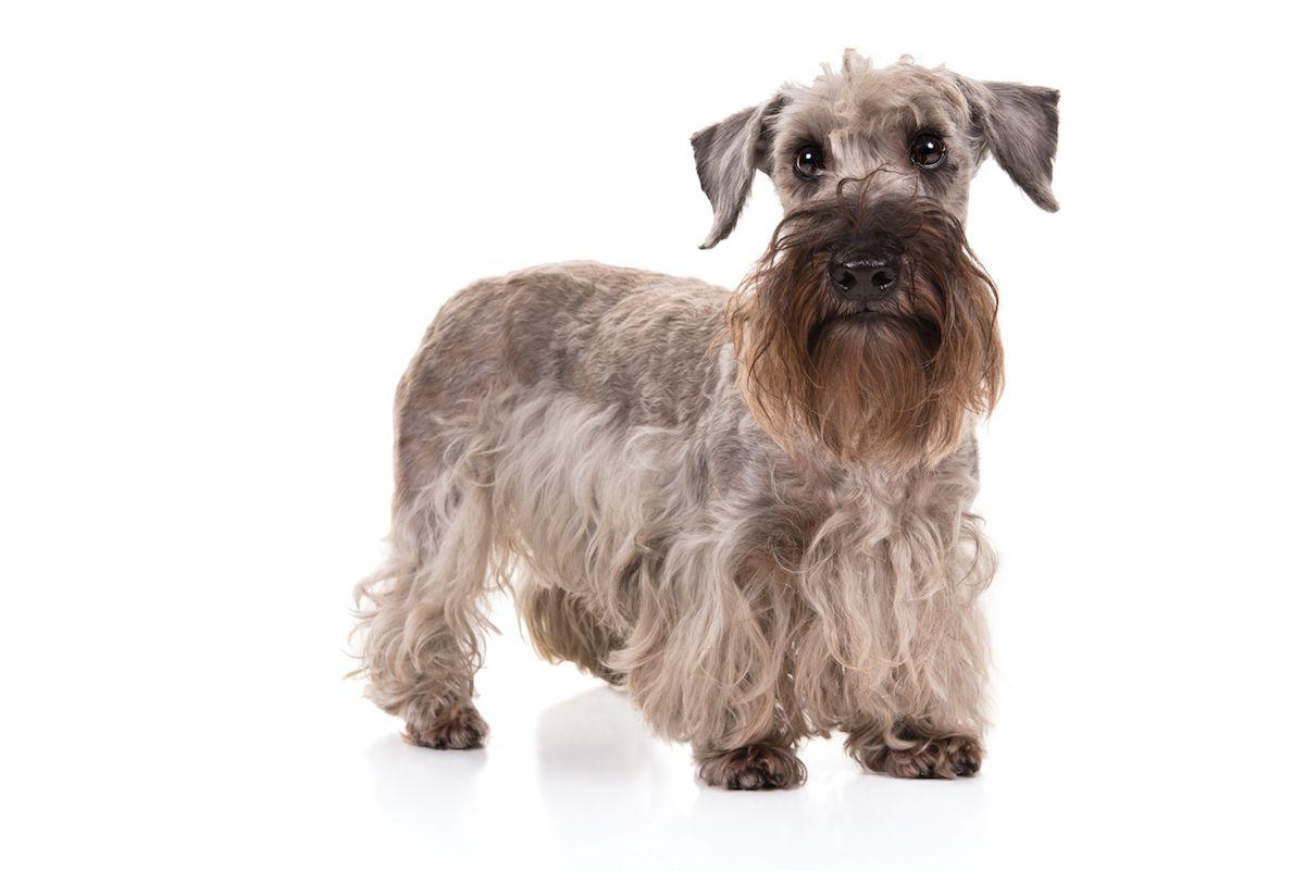 Cesky Terrier Dog Breed Information Rare Dog Breeds Dog Breeds