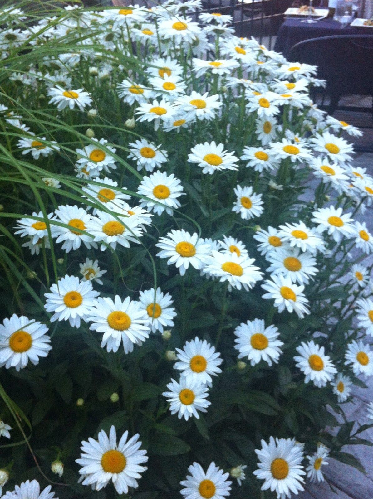 Heavy stemmed daisies are best cut partially back as their overall heavy stemmed daisies are best cut partially back as their overall thickness and growth makes more work once the tops of the plants deteriorate izmirmasajfo